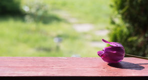 Purple tulip flower lays on wood board. Garden view Royalty Free Stock Photos
