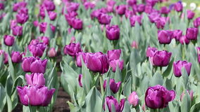Purple tulip flower. Nature background stock video footage