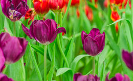 Purple tulip flower Royalty Free Stock Images