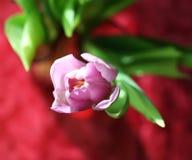 Purple tulip flower Stock Images