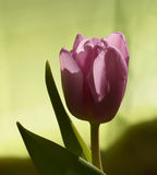 Purple tulip flower Royalty Free Stock Image