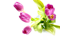 Purple tulip flowers in bloom stock photos