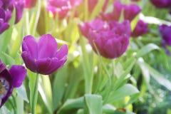 Purple Tulip Flowers in the Garden. Blooming Purple Tulip Flowers in the Garden stock photo