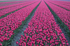 Purple tulip flowers in a row. Stock Image
