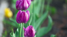 Purple tulip flowers. Tulip flowers swaying in the spring breeze stock video