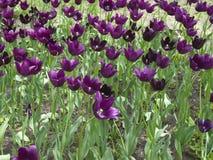Purple tulip flowers Royalty Free Stock Photos