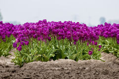 Purple tulip front. A front view of a field of purple tulips Stock Photography