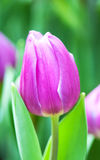 Purple tulip in the garden Royalty Free Stock Photos