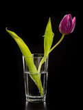 Purple tulip in a glass Stock Image