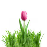 Purple tulip and green grass Royalty Free Stock Photography