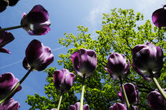 Purple Tulip grow up Royalty Free Stock Photo