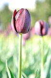Purple tulip Stock Images