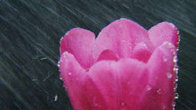 Purple Tulip in Heavy Rain Rotating. Black background. Extreme close-up. Shot on RED Epic stock video footage