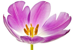 Purple tulip isolated Stock Photos
