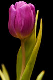 Purple tulip isolated Stock Photography