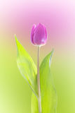 Purple tulip isolated Royalty Free Stock Image