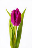 Purple tulip isolated on white Stock Photo