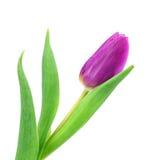 Purple tulip Stock Images