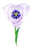 Purple tulip isolated on white background Stock Image