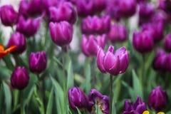 Purple Tulip2 Royalty Free Stock Photos