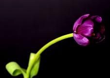 Purple Tulip Macro Royalty Free Stock Photography