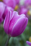 Purple  tulip macro Royalty Free Stock Photos