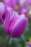 Purple  tulip macro Royalty Free Stock Photos