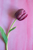 Purple tulip. One purple tulip on pink watercolor background Royalty Free Stock Images
