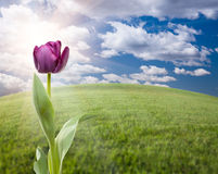 Purple Tulip Over Grass Field and Sky Stock Photo