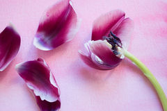 Purple tulip petals. On pink watercolor background Royalty Free Stock Photos