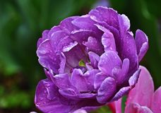 Purple tulip after rain royalty free stock photography