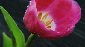 Purple Tulip in the Rain Rotating. Black background. Extreme close-up. Shot on RED Epic stock footage