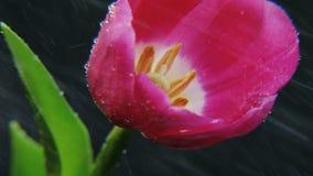 Purple Tulip in the Rain Rotating stock footage