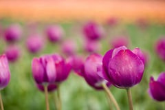 Purple tulip soft focus Stock Image