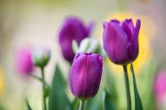 Purple tulip stems outdoor Royalty Free Stock Photo