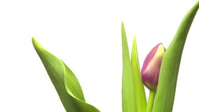 Purple Tulip Time-lapse. Time-lapse of a purple tulip flower blooming stock video