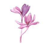 Purple Tulip, watercolor Royalty Free Stock Photos