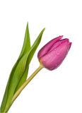 Purple tulip on a white background Royalty Free Stock Images