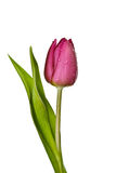 Purple tulip on a white background Royalty Free Stock Photo