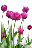 Purple tulips. Side view of purple tulips against a white background Royalty Free Stock Photo