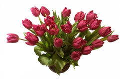 Violet tulip bunch with 21 blossoms. In front of white background, reserved Royalty Free Stock Image