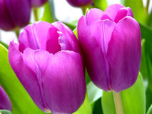 Purple tulips. Bright Dutch purple tulips in the spring Stock Images