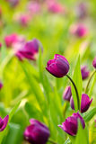 Purple tulips. In green garden after raining Royalty Free Stock Photos