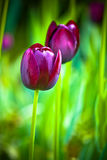 Purple tulips. On a green background Royalty Free Stock Photos