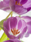 Purple tulips. Beautiful spring purple tulips macro Royalty Free Stock Photo