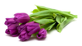Purple tulips. On white background Stock Image