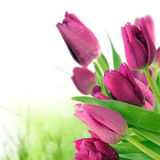 Purple tulips Royalty Free Stock Photos