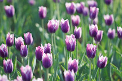 Purple tulips. stock images