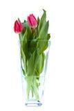 Purple tulips. Fresh spring tulips on white background Royalty Free Stock Images