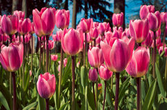 Purple tulips Stock Image